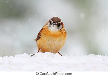 Carolina Wren (Thryothorus ludovicianus) on a perch covered with snow