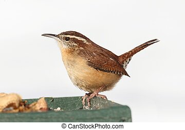 Carolina Wren (Thryothorus ludovicianus) on a perch on a feeder with snow