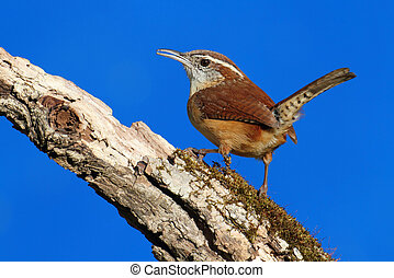 Carolina Wren (Thryothorus ludovicianus) on a branch with a blue sky background