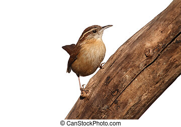 Carolina Wren (Thryothorus ludovicianus) on a branch isolated on white