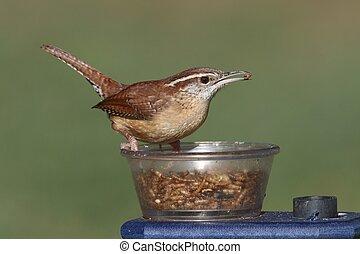Carolina Wren (Thryothorus ludovicianus) on a feeder
