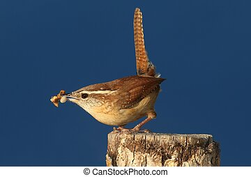 Carolina Wren (Thryothorus ludovicianus) on a branch with a worm and a dark blue background