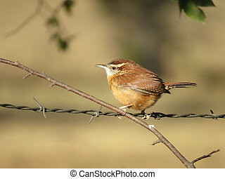 Carolina Wren perched on barbed wire