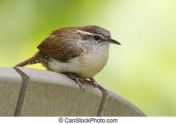 Carolina Wren perched on the back of a chair