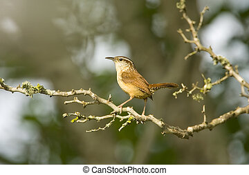 Carolina Wren perched - A Carolina Wren perched high up in a...