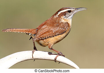 Carolina Wren (Thryothorus ludovicianus) singing on a deer antler with a green background