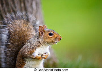 carolinensis), wschodni, (sciurus, wiewiórka, szary
