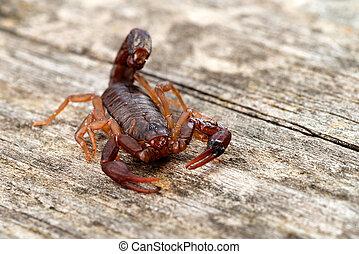 carolinianus), diablo, (vaejovis, macro, imagen, escorpión,...