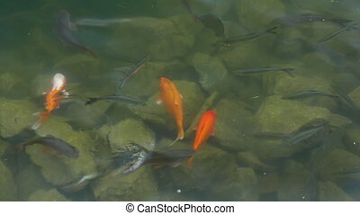 Carp and goldfish in the pond