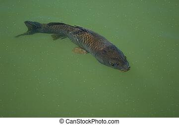 Carp - common carp (Cyprinus carpio) swimming under water