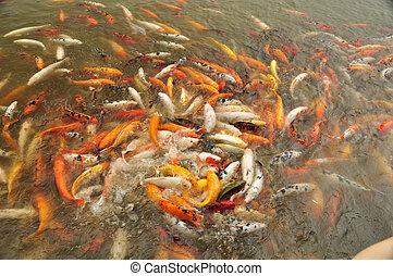 Carp (Fam; Cyprinidae) - Participating in a feeding frenzy ...