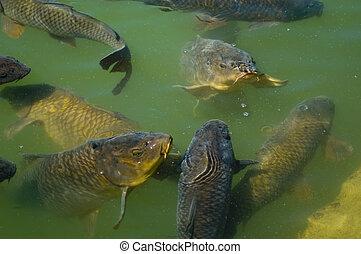 Carp Feeding - Common Carp (Cyprinus carpio) feeding