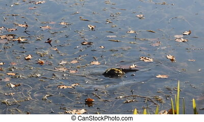carp feeds among the reeds in the algae of the pond