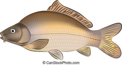 Carp fish (Cyprinus carpio) detailed vector illustration