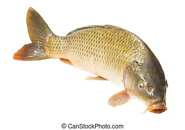 carp fish isolated on white background