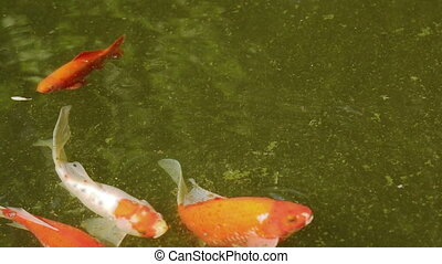 Carp fish of different color in the pond