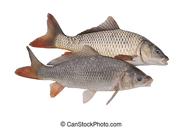 Carp fish on white Isolated