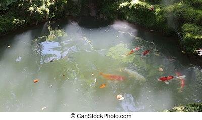 Carp fish pond in sun light garden