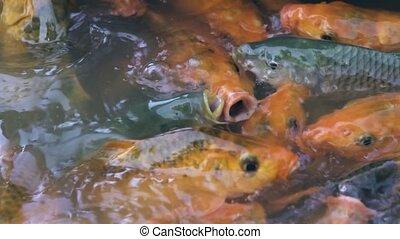 Carp fish swimming in pond on fish farm. Koi carp swimming...