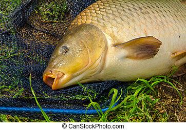 carp, freshwater fish