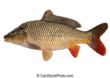 Carp has tasty dietary meat. Fishing carp great pleasure.