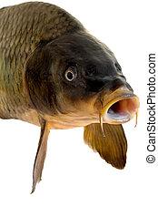 carp head close-up isolated on white background