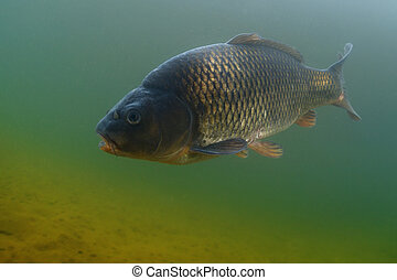 Carp in the pond - Underwater shot of the fish (Carp of the ...