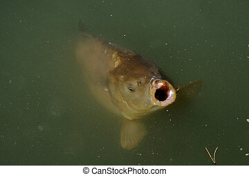 Large hungry carp in a lake