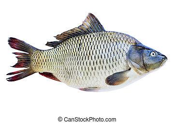 carp on a white background