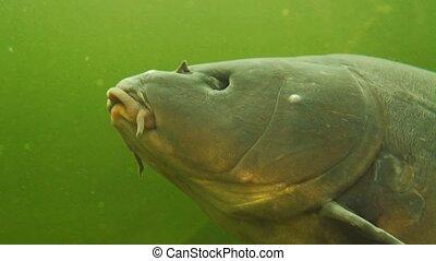 carp, onder water