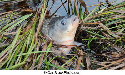 Carp stuck among sedges and breathes wide-open mouth.