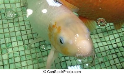 Carp swimming in the aquarium