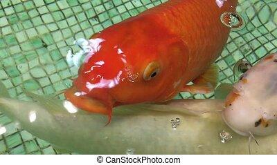 Carp swimming in the aquarium. Decorative fish