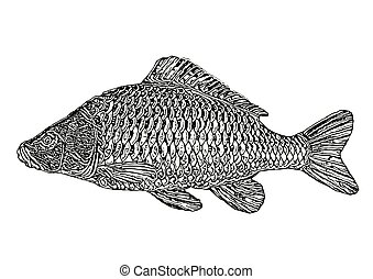 Carp Vector Illustration