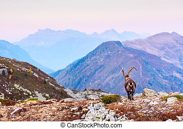 Carpa Ibex in the France Alps
