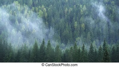 Carpathian Mountains forest. Mist rises, condenses and ...