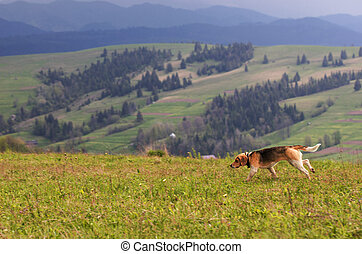 Carpathians. Mountain landscape. The hunting dog takes the trail.