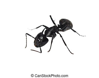 Carpenter ant, Camponotus ligniper - Big forest black ant...