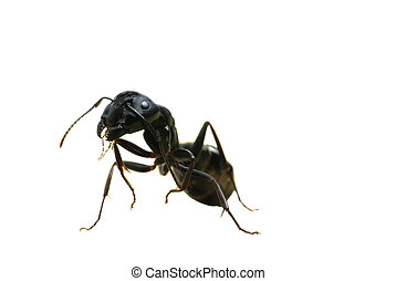 Carpenter Ant on Back Legs - A macro image of a scary...