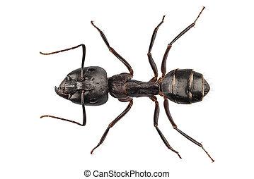 Carpenter Ant species camponotus vagus in high definition...
