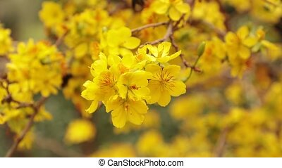 Carpenter Bee And Yellow Apricot Blossom Tree - Carpenter...