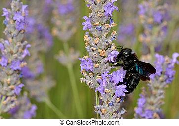 Carpenter bee feeding on lavender