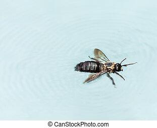 Carpenter bee swimming in pool