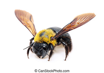 Carpenter bee Xylocopa pubescens on white background