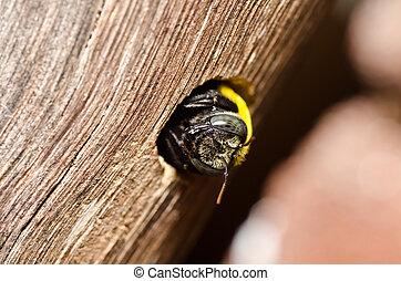 carpentiere, natura, ape
