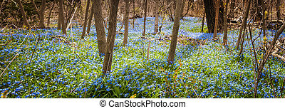 Carpet of blue flowers in spring forest - Panorama of early...