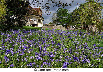 Carpet of Bluebells - Carpet of bluebells in an English...