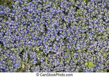 carpet of ceratostigma