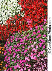 Carpet of flowers Impatiens