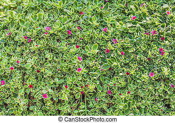 Carpet of natural flowering plants, grass with small leaves.